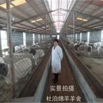 龙江县杜泊羊报价