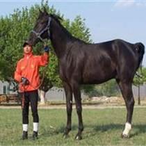 廣東乘騎馬多少錢一匹
