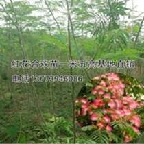 大喬木紅花合歡苗批發2米高絨樹
