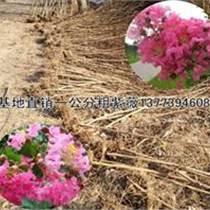 苏北最大紫薇基地供应多规格紫薇
