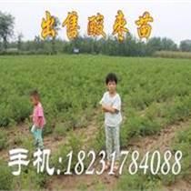 出售野生酸棗苗(成活率高)