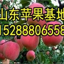 批發甘肅優質紅富士蘋果產地