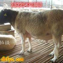 丽江杜泊羊价格