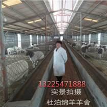 丽江杜泊羊养殖基地