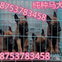 长阳马犬纯种的多少钱一只