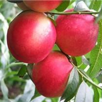 映霜红桃树苗供应批发