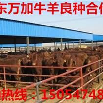 甘肅肉牛養殖