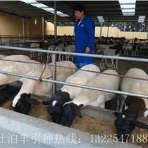 怒江杜泊羊价格