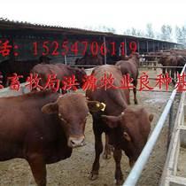 鲁西黄牛价格哪里卖鲁西黄牛