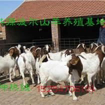波尔山羊好养吗波尔山羊价格