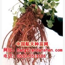 菏澤丹參種苗