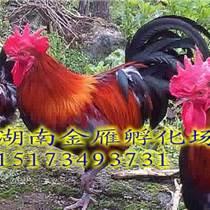 黑土二號雞苗