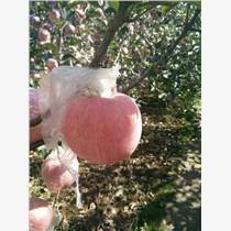 供应陕西红富士苹果产地价格