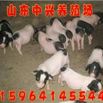 河南鶴壁有養殖香豬的嗎