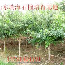 石榴樹供應基地