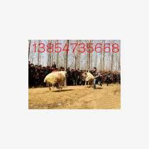 山东斗羊图片供应斗羊行情价格实惠