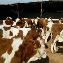 东北肉牛犊价格东北肉牛行情东北肉牛网东北肉牛市场