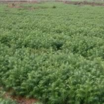 廣西柳州杉木林區供應良種杉木苗