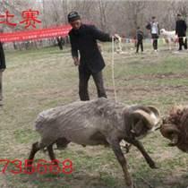 河南有周岁斗羊吗