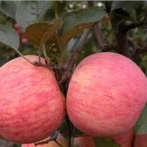 山東紅富士蘋果產地報價今日蘋果