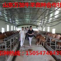 西門塔爾牛養殖