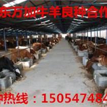 魯西黃肉牛介紹
