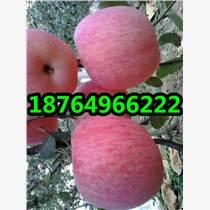 紅富士蘋果價格山東蘋果產地