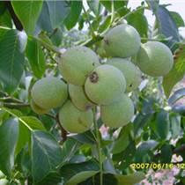 山西核桃苗、嫁接核桃樹苗品種