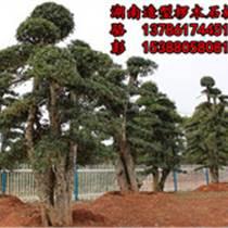 供應湖南欏木石楠樹盆景價格