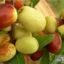 供应枣树苗