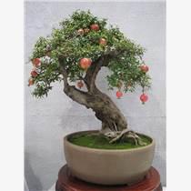 果樹盆景價格盆景批發
