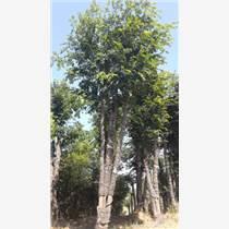 精品湖北樸樹移栽樸樹