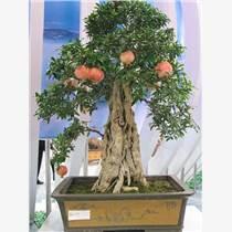 果樹盆景種植零售原裝現貨