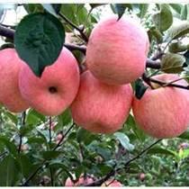 供應蘋果苗 紅富士蘋果苗基地
