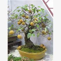 果树盆景批发厂家果树盆景销售