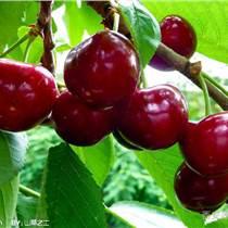 針葉櫻桃提取物 17%維生素