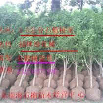 石榴樹苗銷售