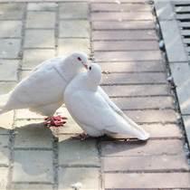 張家口種鴿價格肉鴿養殖行情
