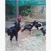 山东强盛驯养斗鸡价格斗鸡苗价格