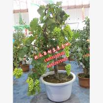 果树盆景种植果树盆景养护