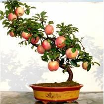 蘋果盆景銷售 |