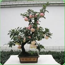 蘋果盆景廠家 |