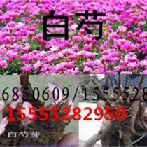 亳州白芍種子價格白芍籽苗批發