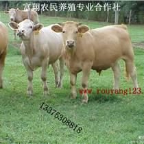 夏洛萊肉牛_肉牛品種優_肉牛養殖