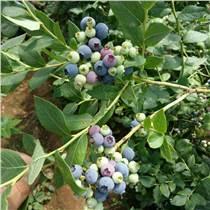 南高叢優質藍莓苗