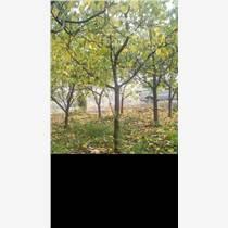 供應8公分占地杏樹