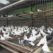 肉鴿觀賞鴿種鴿養殖場