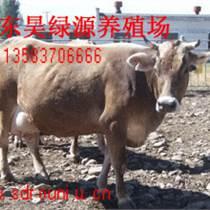肉牛 昊綠源養殖場出售新疆褐牛