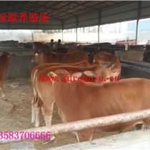 肉牛 昊綠源養殖場供應魯西黃牛