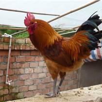 自生源禽業大量供應武勝土雞苗孵化場武勝正宗土雞苗
